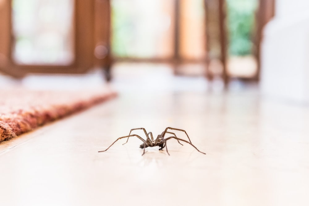 Spider Removal In Springfield Lakes, QLD
